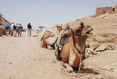Camelo. Fotos de Stock