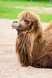 Camelo. Imagens de Stock
