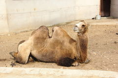 Camelo. Fotos de Stock Royalty Free