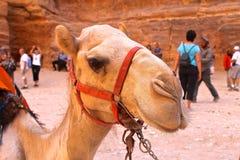 Camelo fotos de stock