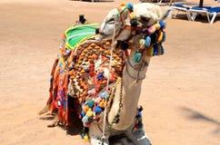 Camelo fotografia de stock
