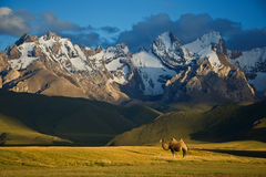 Camelo ao lado de Sary-Beles 1 Foto de Stock Royalty Free