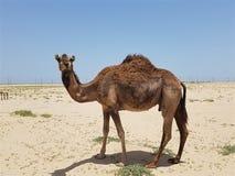 Camelo apenas no deserto fotos de stock royalty free