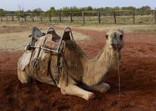Camelo aproveitado Fotografia de Stock