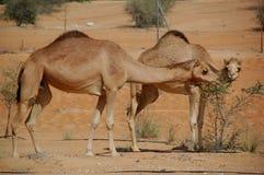 Camelo, Arabian (dromedarius do Camelus) Foto de Stock Royalty Free