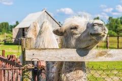 Camelo bactriano Foto de Stock Royalty Free
