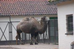 Camelo bactriano Imagens de Stock Royalty Free