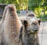Camelo bactriano atrás da cerca de fio Fotografia de Stock Royalty Free