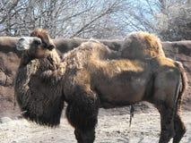 Camelo bactriano (bactrianus do camelus) Fotografia de Stock