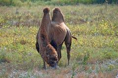 Camelo bactriano (bactrianus do camelus) Fotos de Stock