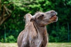 Camelo bactriano, bactrianus do Camelus em um jardim zool?gico alem?o imagens de stock