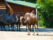 Camelo bactriano (bactrianus do Camelus, ferus do Camelus) Foto de Stock