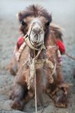 Camelo bactriano no vale de Nubra, Ladakh, India norte imagens de stock royalty free