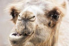 Camelo bactriano - retrato cômico do close up do bactrianus do Camelus imagens de stock royalty free