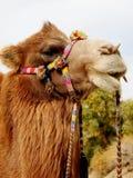Camelo bonito Fotografia de Stock Royalty Free