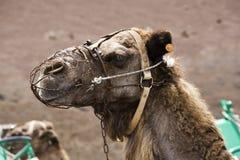Camelo com chicote de fios Foto de Stock Royalty Free