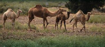 Camelo com três jovens em um campo Fotografia de Stock Royalty Free