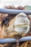 Camelo da cerca. Fotos de Stock Royalty Free