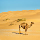 Camelo da matriz e do bebê Fotos de Stock Royalty Free