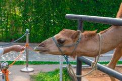 Camelo de alimentação da mulher na exploração agrícola, Tailândia Imagem de Stock