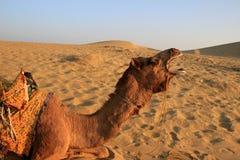 Camelo de bocejo em Jaisalmer Imagens de Stock Royalty Free