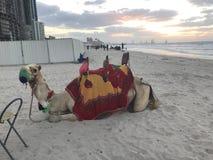 Camelo de Dubai fotos de stock royalty free