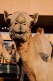 Camelo de Duckface Fotos de Stock