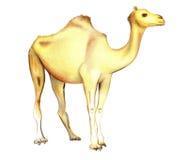 Camelo de One-humped em um fundo branco Fotografia de Stock Royalty Free