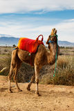 Camelo de riso Foto de Stock