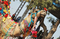 Camelo decorado bonito do dromedary na feira do camelo, India fotos de stock