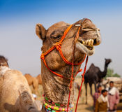 Camelo decorado na feira de Pushkar - Índia imagem de stock