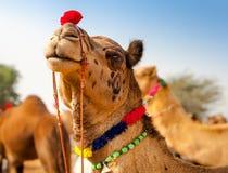 Camelo decorado na feira de Pushkar - Índia fotografia de stock