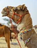 Camelo decorado na feira de Pushkar - Rajasthan, Índia, Ásia imagem de stock