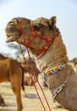 Camelo decorado na feira de Pushkar - Rajasthan, Índia, Ásia fotografia de stock