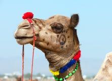 Camelo decorado na feira de Pushkar. Rajasthan, Índia, Ásia Foto de Stock