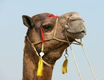 Camelo decorado na feira de Pushkar. Rajasthan, Índia, Ásia Fotografia de Stock