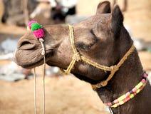 Camelo decorado na feira de Pushkar Rajasthan, Índia Fotografia de Stock