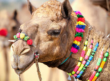 Camelo decorado na feira de Pushkar Rajasthan, Índia Imagens de Stock Royalty Free