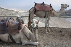 Camelo, deserto de Judean foto de stock