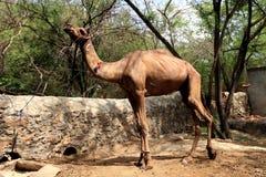Camelo do animal de estimação amarrado com corda Imagens de Stock Royalty Free