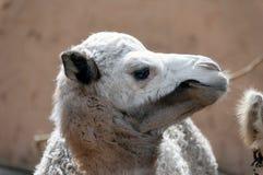Camelo do bebê (dromedário) Foto de Stock Royalty Free