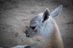 Camelo do bebê que olha bonito foto de stock