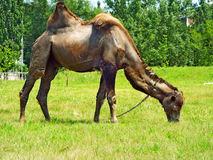 Camelo do circo imagem de stock