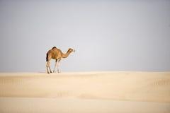 Camelo do deserto Fotografia de Stock Royalty Free