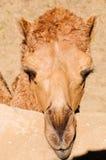 Camelo do Dromedary imagem de stock