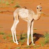 Camelo do dromedary do bebê foto de stock