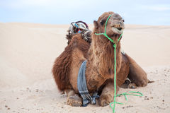 Camelo do Dromedary que coloca na areia fotografia de stock royalty free