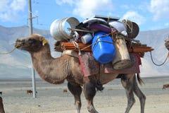 Camelo do nômada fotos de stock royalty free