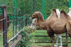 Camelo dois fotografia de stock royalty free
