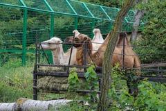 Camelo dois na gaiola imagens de stock